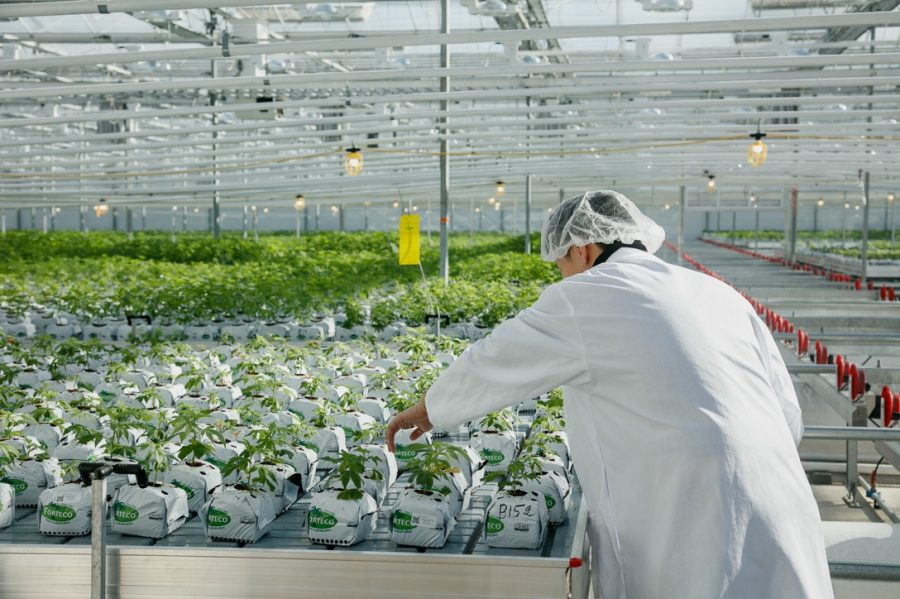 A Pure Sunfarms employee working in the greenhouse.