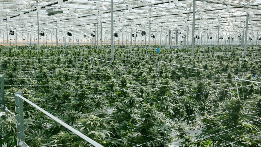Wide view of plants in a greenhouse