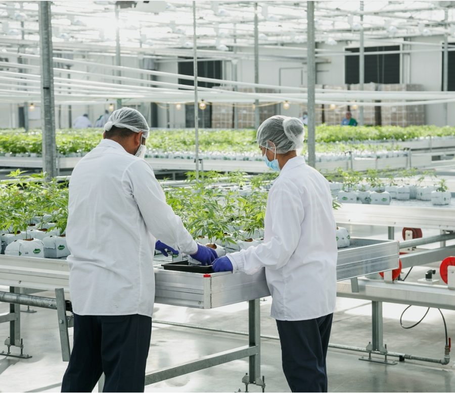 Two Pure Sunfarms employees working the the greenhouse.