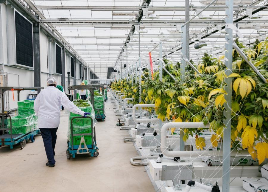 Pure Sunfarms employees walking through the greenhouse with crates of plants.