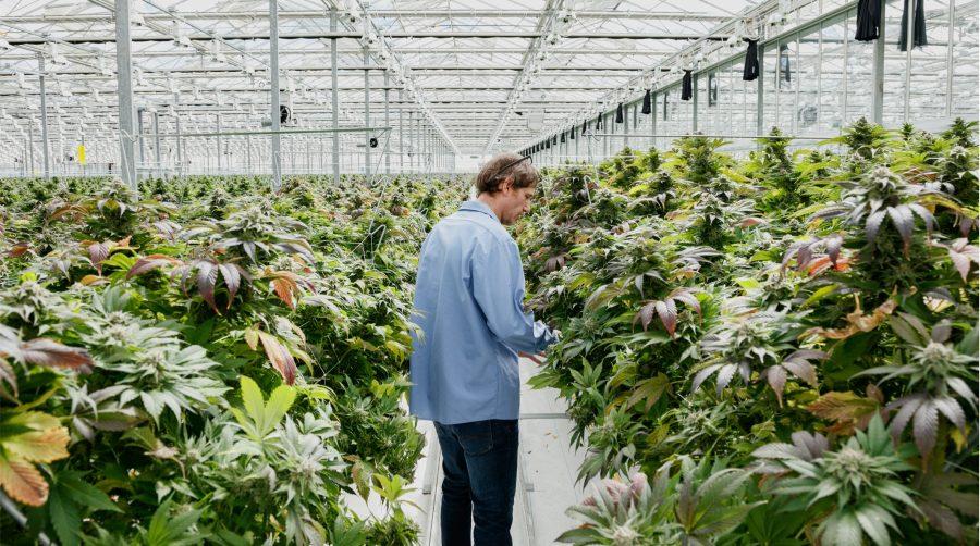 A Pure Sunfarms employee walking through the greenhouse.