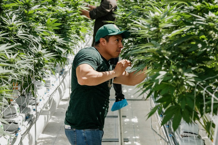 Pure Sunfarms employee looking at the plants in the greenhouse.