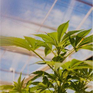 A plant inside a greenhouse.