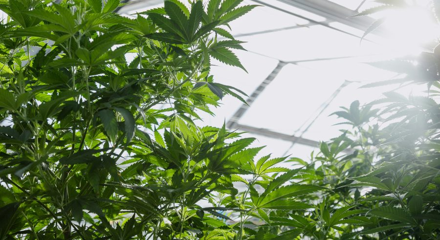Plants growing in a greenhouse with light shining through the roof.