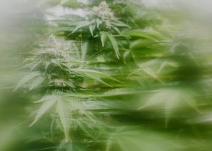 Headband plant blurred.