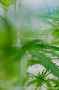 Peering between the leaves of an Island Honey plant in a nursery.