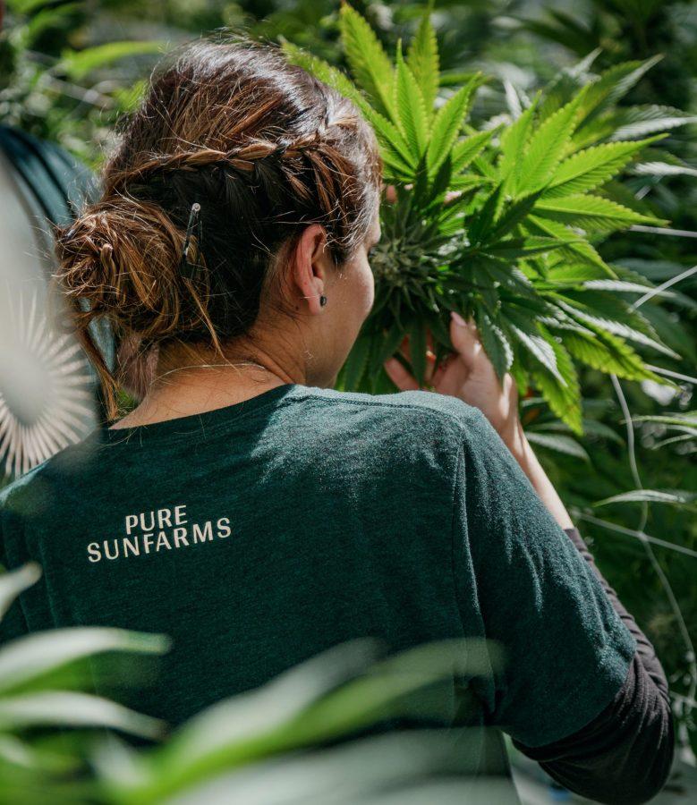 Woman touching a plant in Pure Sun Farms shirt.
